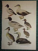 Vintage Natural Historia Estampado ~ Golden-Eye Eider Pato Gran Escudo Grebe