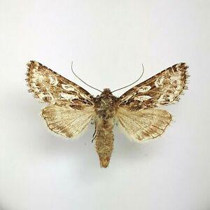 Noctuidae Hampsonicola Hedina decipiens VERY RARE Russia Siberia Krasnoyarsk