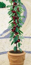 Cherry Tree Seeds - STANDARD - Miniature Fruit Tree -PRUNUS- Gmo Free - 10 Seeds