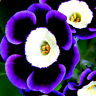 100x Seeds Tricolor Trailing Petunia Flower Dwaft Calibrachoa Garden Plant E8F6