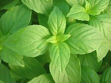SEEDS 80 graines de BASILIC CITRON (Ocimum Citriodorum) LEMON BASIL SAMEN