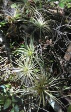 5 Tillandsia Air Plants Grown in Florida plants 2-5""
