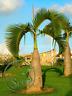 Bottle Palm Tree Seeds Exotic Plants Bonsai Tropical Decor Home Garden 10 Pcs
