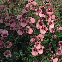 Diascia Barberae- Pink- 100 Seeds - - BOGO 50% off SALE