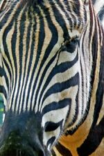 More details for african zebra photograph picture print
