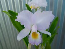 Cattleya trianaei Jungle Queen-Tajima orchid In Bloom C. trianae 2 Plant Com-Pot