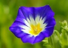 25+ Ensign Royal Blue Morning Glory / Perennial Flower Seeds