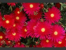 50+ BRIGHT RED  ICE PLANT FLOWER SEEDS / PERENNIAL