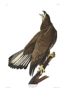 1830 John Audubon White Headed Eagle Havell Edition Exc Juvenile Bald Eagle