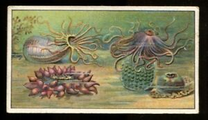Tobacco Card, B Morris, MARVELS OF THE UNIVERSE, 1912, Sea Anemones, #11