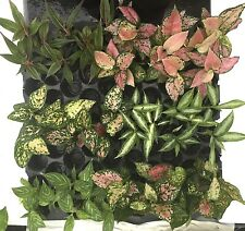 """GROW YOUR OWN AGLAONEMA AT HOME in 4"""",6"""",8"""" POT(PREMIUM VAR. CHINESE EVERGREEN)"""