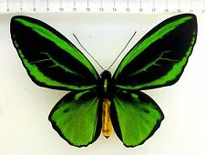 Ornithoptera priamus poseidon rare Aberation ,Irian Jaja  INDONESIEN  O-024