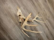 Large midwest whitetail European skull. Huge bases dark and beaded.