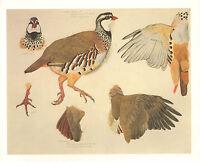 VINTAGE BIRD PRINT ~ RED LEGGED PARTIDGE
