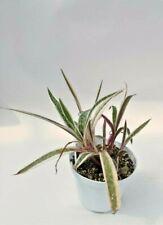 Scilla Socialis Variegata  cactus piante grasse succulente caudex pot 10 cm