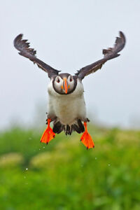 Atlantic Puffin Coming In For A Landing Photo Art Print Poster 12x18 inch
