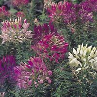 Cleome- Mixed colors- 100 Seeds- BOGO 50% off SALE