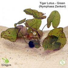 Tiger Lotus (GREEN) Nymphaea Live Bulb Aquarium Plant Tropical Lily Betta Water