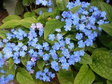 Pflanze/Blume/Staude Gedenkemein blau Bodendecker