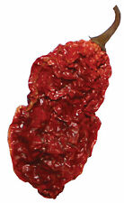 Ghost Peppers Whole Dried Ghost Chili Peppers 10 +2 Free Hot Chili Wicked Tickle