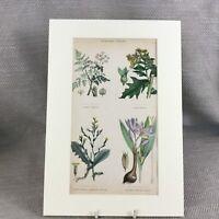 1858 Botanico Stampa Poisonous Plants Cicuta Originale Antico Mano Colorato