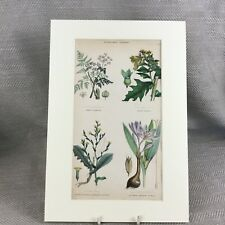 Antique Botanical Print Original Hand Coloured Poison Plants Hemlock Flowers