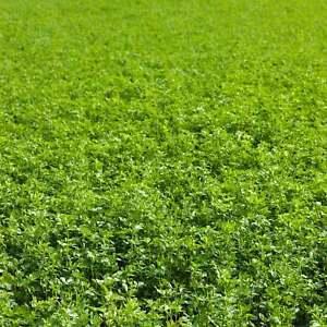 NON-GMO ALFALFA SEEDS - GARDENING, FIELD GROWING, GARDEN COVER CROP