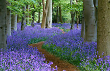 Enmarcado impresión Bluebell paseo por el bosque (Imagen Cartel Flores bosque)