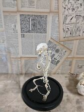 Taxidermy squirrel skeleton complete with glass dome
