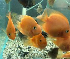 King Kong Parrot Cichlid Live Freshwater Aquarium Fish