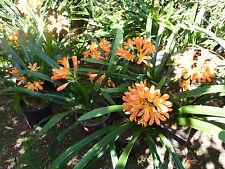 CLIVIA orange plant in 20cm pot, orange flowering.