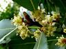 5 Laurus Nobilis - Bay Leaf Laurel - Rare Tropical Plant Tree Seeds  USA Seller