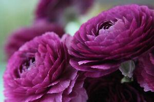 20x Ranunculus Asiaticus PURPLE Summer Flowering Bulbs Rare Garden Plant Corms