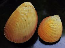 trachycardium enode yellow rare 69 105mm F++ caught in Siargao Isass 9 2016 516