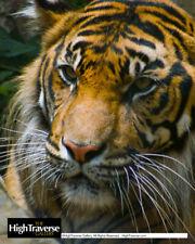 Animal-Tiger Big Cat Portrait-Color Fine Art Photo-8x10-COA-SIGNED!
