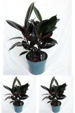 "Burgundy Rubber Tree Plant Indoor Houseplant Ficus Easy to Grow 4"" Pot Best Gift"