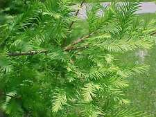 2 LIVE PLANTS BALD CYPRESS TREES TAXODIUM DISTICHUM SAPLINGS EXOTIC CONIFER