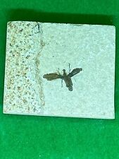 More details for fossil insect march fly plecia (incstand) prehistoric extinct taxidermy #ccc065a