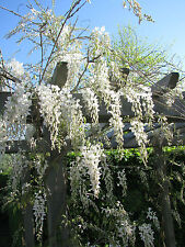 Weißregen Wisteria sinensis Alba 40-60cm Frühlingsblüher