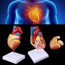 Disassembled Anatomical Human Heart Model Anatomy Medical Teaching Tool Hot