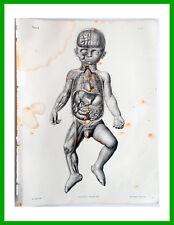 ✅ 1844 incisione Litho-Anatomia-Anatomie Bourgery Paris-Foetus-Feto a termine-11