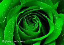 20+ DARK GREEN EUROPEAN ROSE BUSH Seeds       USA SELLER SHIPS FREE