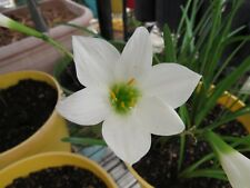 Rain Lily, Zephyranthes Waan Hom Day, 1 bulb, NEW, habranthus