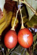 Gesunde Tomatenfrüchte, die an einem Baum wachsen, und lecker schmecken !