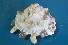 "Xenophora Granulosa 72.3 mm F++/++""beautiful shell carrier""!!!."