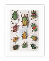 SCIENTIFIC BEETLES INSECT COLOURFUL RAINBOW Poster Photograph Canvas art Prints