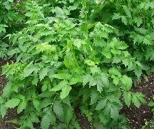 "Rare Ukrainian Organic Valerian root 50 seeds ""Valeriana Officinalis"" Sedative."