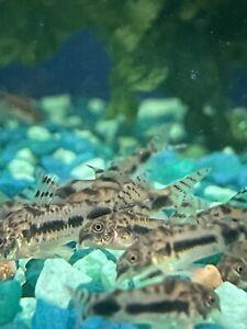 6 PK Live Hasbrosus Cory Catfish Dwarf Salt & Pepper Pygmy Corydoras Live Fish