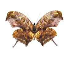 One Real Butterfly Leaf Mimic Anaea Fabius Verso Peru Unmounted Wings Closed