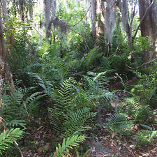 Swamp Ferns From a Florida Oak Hammock Four Rooted Plants $65